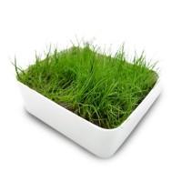 Tanaman Aquascape Dwarf Hairgrass Murah