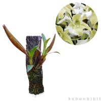 Tanaman Dendrobium Forbesii Murah
