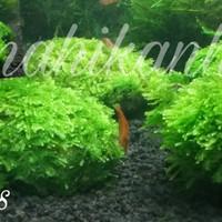 Jual Batu moss mini xmas chrismast aquascape Murah
