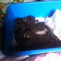 Harga Musang Pandan Baby Hargano.com