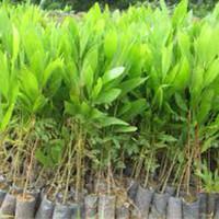 bibit/pohon akasia mangium/auriculiformis