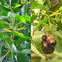 1000benih/Biji pohon akasia mangium/auriculiformis