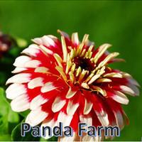 Benih Biji Bibit Bunga Zinnia Merah Putih / Cocok Untuk Daerah Panas