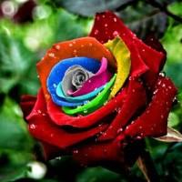 Jual Benih Mawar Mystic Rainbow Rose - Import Murah