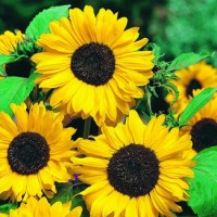Benih / Bibit / Biji - Sunflower Hallo Seeds - IMPORT