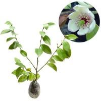 Tanaman Magnolia Figo White ( Cempaka Mulya Putih ) - Tinggi 30-40