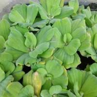 daun tanaman enceng eceng gondok apu-apu murah aquascape aquarium
