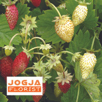 Benih buah Strawberry (Alpine) Red & White F1 Mr.Fothergil