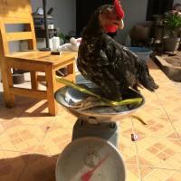 Jual Daging Ayam Kampung Murah