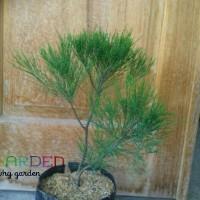 Pohon Cemara Udang / She Oak / Tanaman Hidup Hias Siap Kirim Garansi