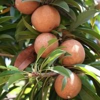biji benih tanaman buah sawo-manila