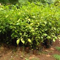 Pohon Teh-tehan, Tanaman Pagar, Tukang Taman