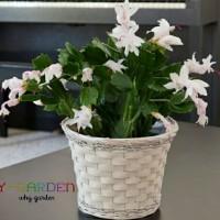 White Christmas Cactus / Bunga Kaktus Natal Putih / Wijaya Kusuma