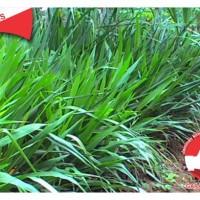 Bibit rumput gajah atau rumput odot atau king gress