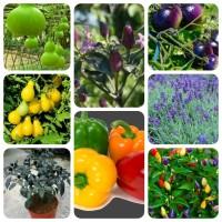 Jual Aneka Benih Unik (Cabai, Tomat, Paprika, Labu Botol dan Bunga) Murah