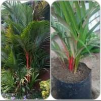 bibit palem merah(tinggi 60 cm)