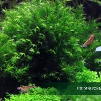 Fissiden Fontanus Moss