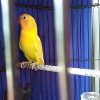 Burung Lovebird Pastel Kuning paskun kubah emas depok kirim gojek