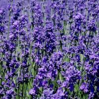Benih Lavender Jenis French Blue *Harga Per Biji*