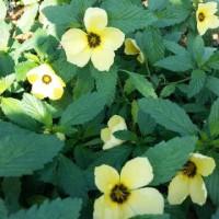 Tanaman Viola Lokal Kuning