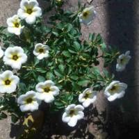 Tanaman Viola Lokal White & Yellow