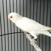 Burung Lovebird Albino MH kubah emas depok siap PCB dan kirim gojek