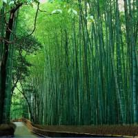 Harga repro gambar lukisan hutan bambu bamboo panda hoki uang feng | Pembandingharga.com