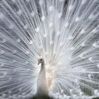 harga Repro Gambar Lukisan Cenderawasih Burung Peacock Beautiful Pretty Tokopedia.com