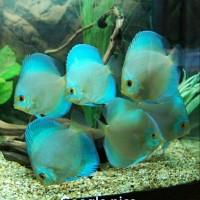 harga Ikan Discus Blue Diamond Tokopedia.com