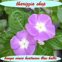 biji benih bunga vinca heatwave blue hallo