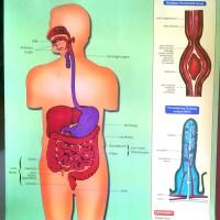 Alat Peraga Poster Sistem Pencernaan Manusia