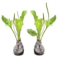 Daun Sendok/daun ki urat/ tanaman daun herbal/ obat asam urat