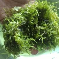 harga Moss Peacock Bahan - Tanaman Aquascape Tokopedia.com