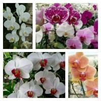 bibit bunga anggrek bulan(warna harap di cantumkan di catatan pembeli)