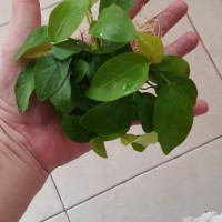anubias nana golden mother plant