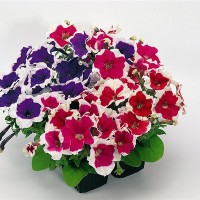 Biji Benih Bibit Bunga Petunia Picotee Mix