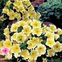 Bibit Benih Biji Bunga Petunia Grandiflora Yellow / Kuning