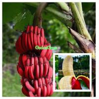 Bibit pisang merah