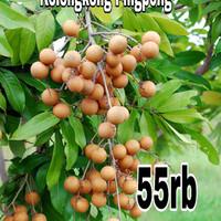 Tanaman kelengkeng Pingpong/pimpong-bibit pohon hidup bukan biji-