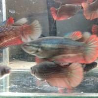 harga Ikan Cupang Giant Betina bo 3.5-4 cm Tokopedia.com