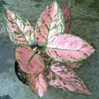 Bibit bunga aglonema lady valentine