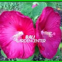 Benih GIANT Hibiscus Warna Merah Import