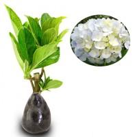 Jual Tanaman Hias Bunga Pancawarna Putih / White Hydrangea Murah