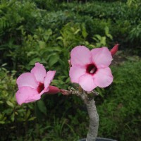 Adenium pink beauty