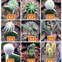 Kaktus Hias