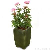 Bunga Mawar Pink Tipped