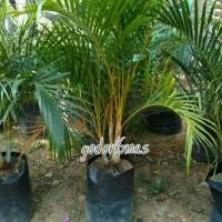 tanaman palem kuning