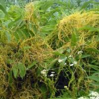 Tumbuhan Parasit Tali putri Sangga Langit Cuscuta Cassytha Segar Basah