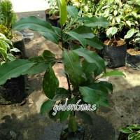 tanaman tanjung