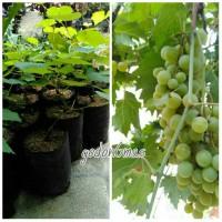 bibit tanaman anggur